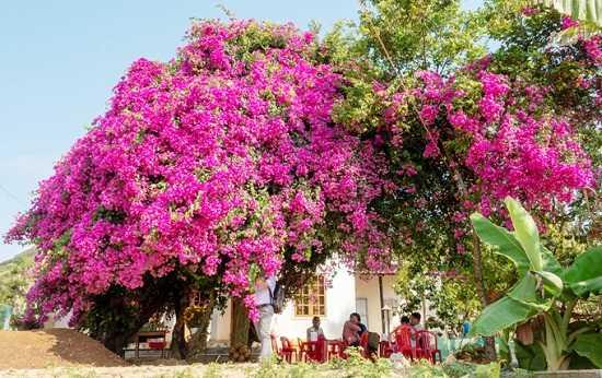 Cây hoa giấy khổng lồ trên đảo Lý Sơn thu hút du khách